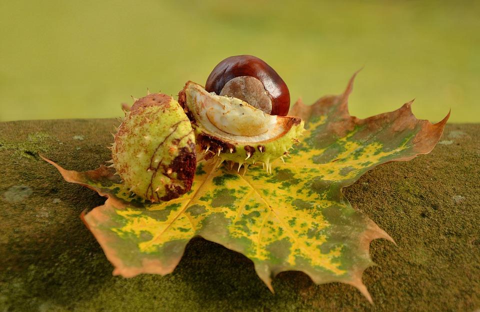 chestnut-1703572_960_720